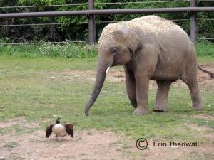 elephant chase 2